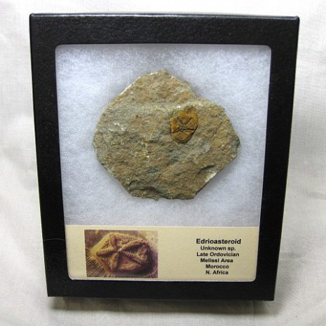 Fossil Ordovician Age Edrioasteroid from North Africa