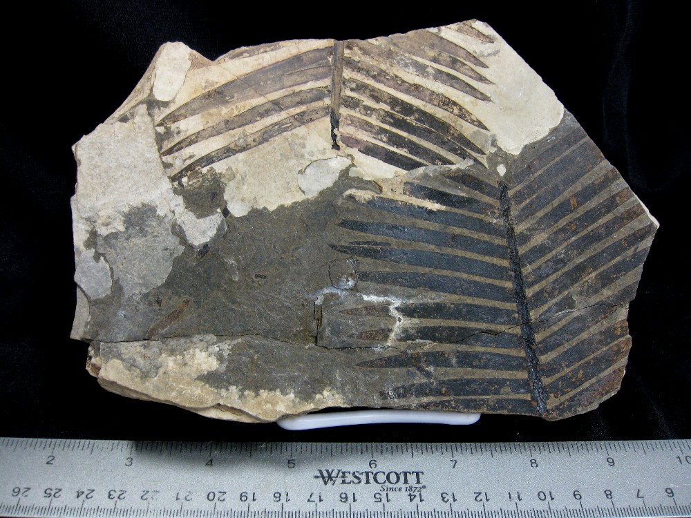 Fossil Oligocene Age Plant or Leaf from Orbagoux France