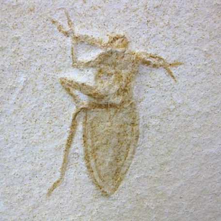 Fossil Jurassic Age Insect from the Solnhofen Limestone of Germany