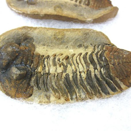 Fossil Devonian Age Eldredgeia Trilobite from Bolivia