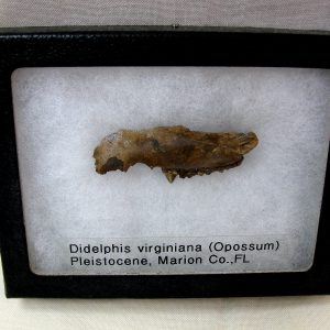 Fossils Pleistocene Age Didelphis Opossum Jaw from Florida