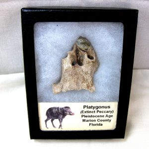 Fossil Pleistocene Age Platygonus Extinct Peccary Tooth from Florida