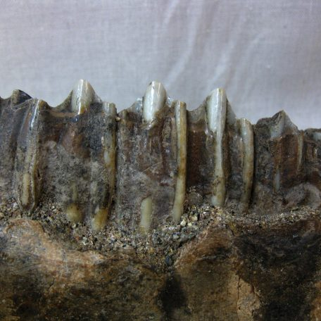 Fossil Pleistocene Age Bubalus palaeokerabau Water Buffalo Tooth from Indonesia