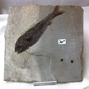 Fossil Jurassic Age Hulettia americana Fish from Wyoming