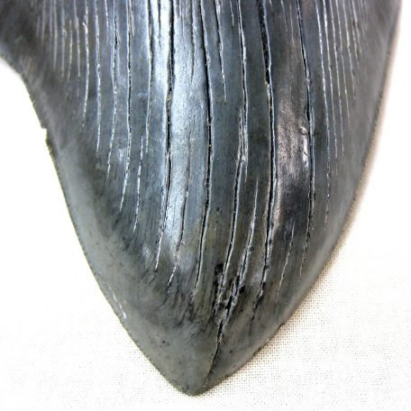 Fossil Miocene to Pliocene Age Giant Megalodon Tooth from the Hawthorn Formation of Savannah Georgia