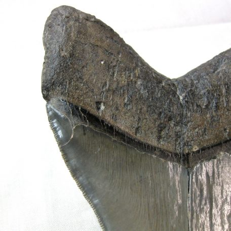 Fossil Miocene to Pliocene Age Giant Megalodon Tooth from the Cooper River of South Carolina