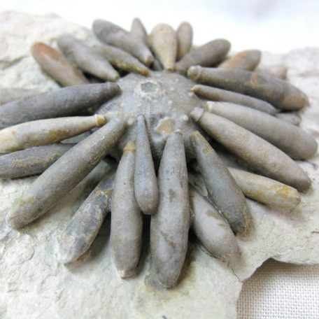Fossil Cretaceous Age Gymnocidaris koechlini Sea Urchin Plate from North Africa