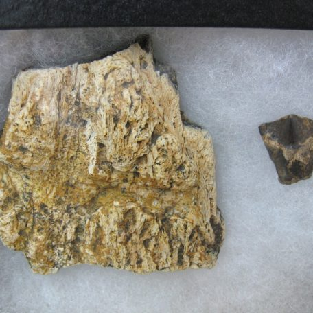 med. cretaceous triceratops frill & tooth set 44a