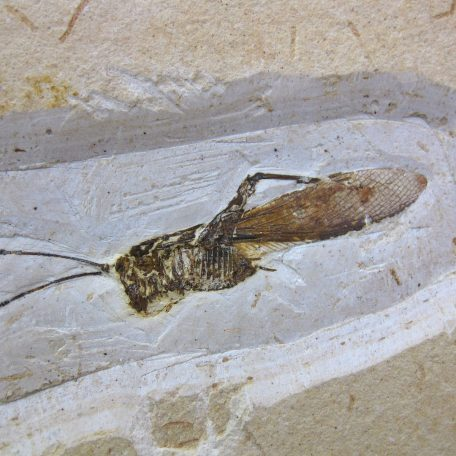 cretaceous brazil crato formation insect 100a