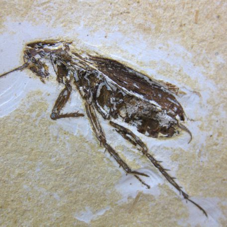 cretaceous brazil crato formation insect 106a