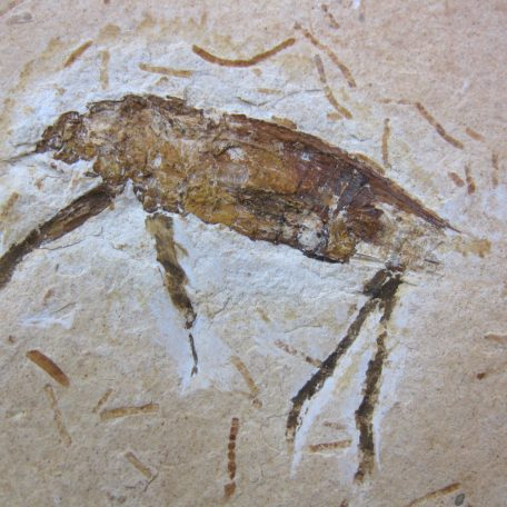 cretaceous brazil crato formation insect 60a