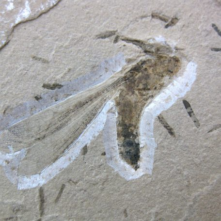 cretaceous brazil crato formation insect 68a