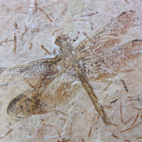 cretaceous brazil crato formation insect 72a