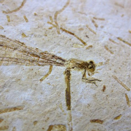 cretaceous brazil crato formation insect 76a