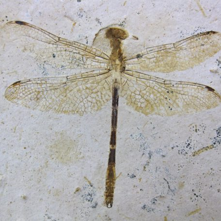 cretaceous brazil crato formation insect 77a