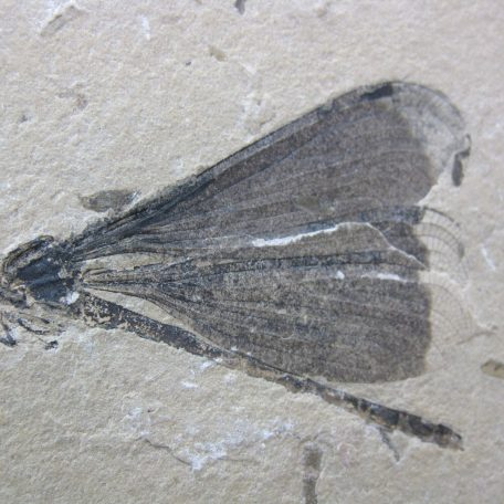 cretaceous brazil crato formation insect 79a
