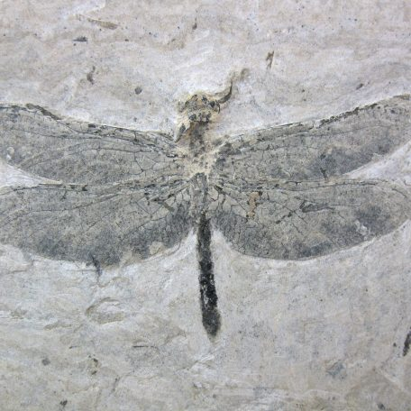 cretaceous brazil crato formation insect 81a