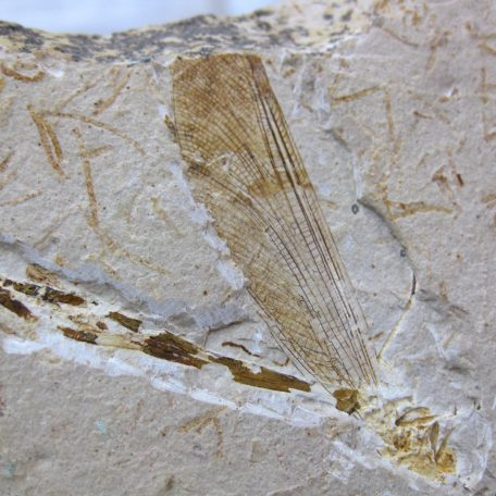 cretaceous brazil crato formation insect 85a