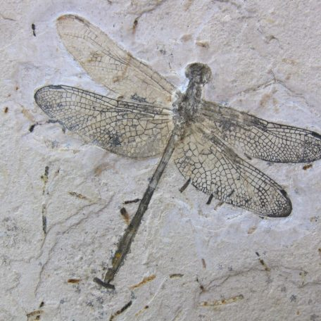 cretaceous brazil crato formation insect 89a