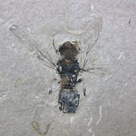 cretaceous brazil crato formation insect 91a
