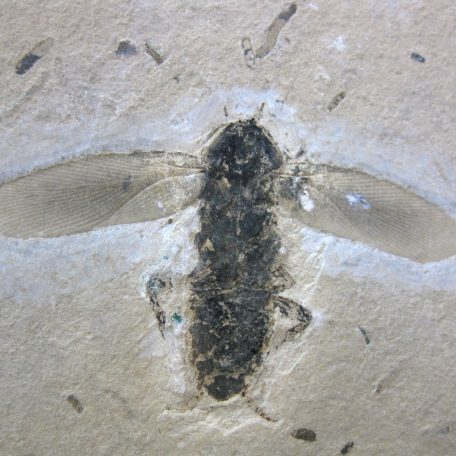 cretaceous brazil crato formation insect 93a