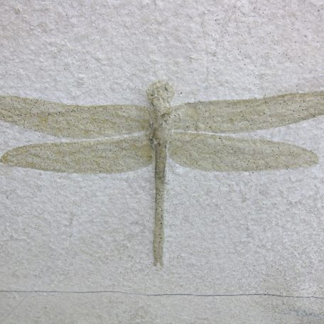 Fossil Jurassic Age Insect from the Solnhofen of Germany