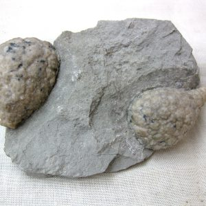 Silurian Age Holocystites Cystoid Plate from the Osgood Shale of Indiana